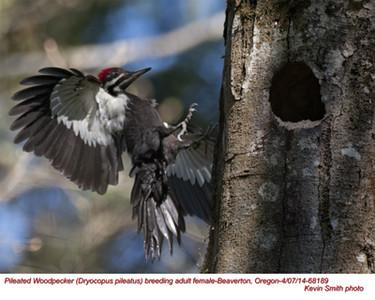 Pileated Woodpecker F 68189.jpg
