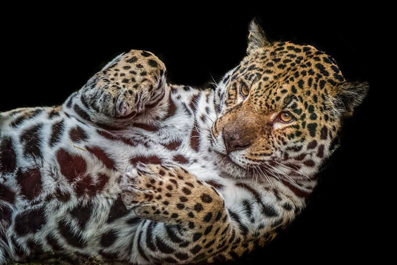 Portrait of a leopard lying on his back