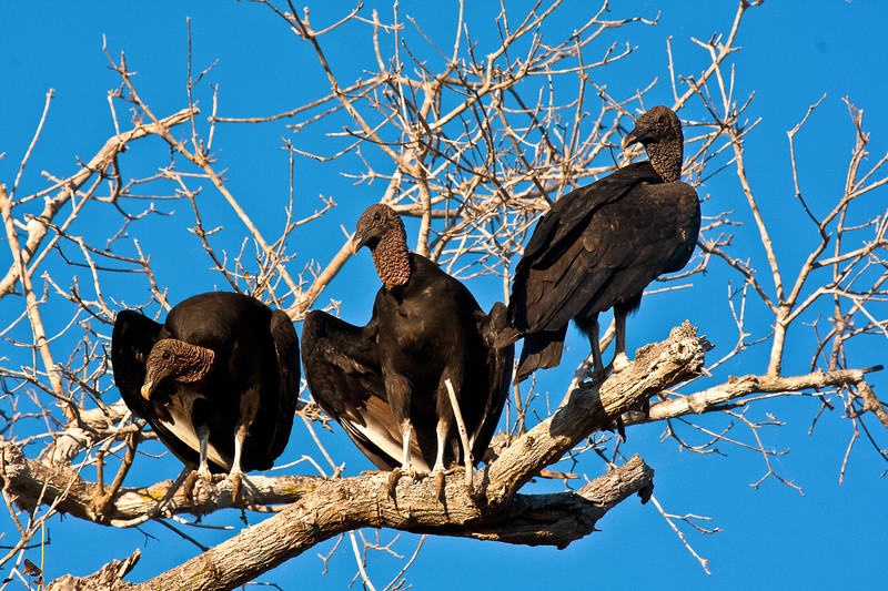 BLACK VULTURES IN TREE-EDITED.jpg