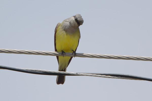 2021-05-30 Hazelwood and Bridgeton Western Kingbirds