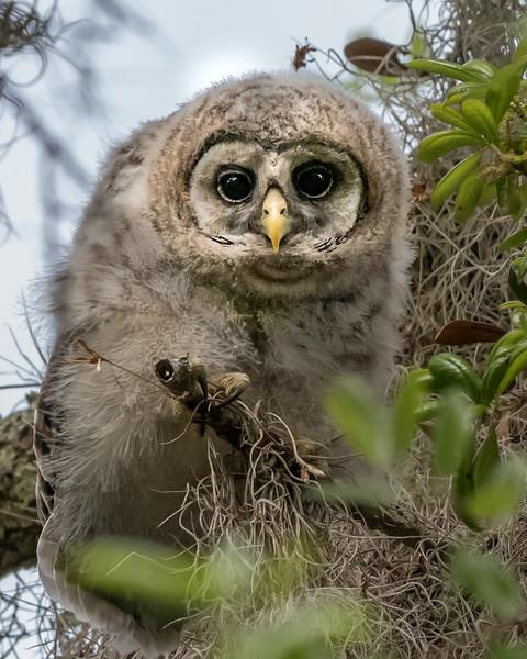 Baby Barred Owl - Florida