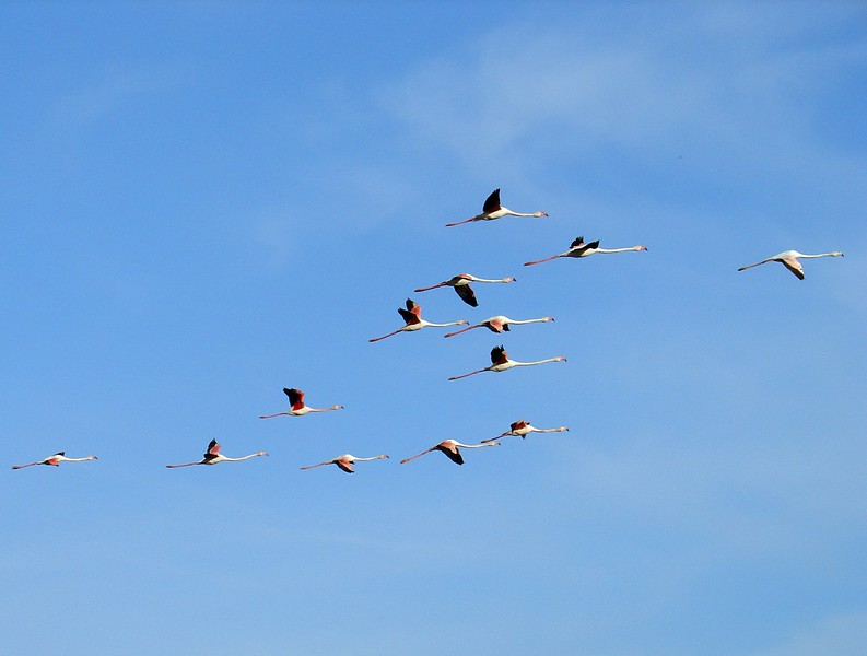 Flying Flamingos - Camargue, France - April 9, 2007