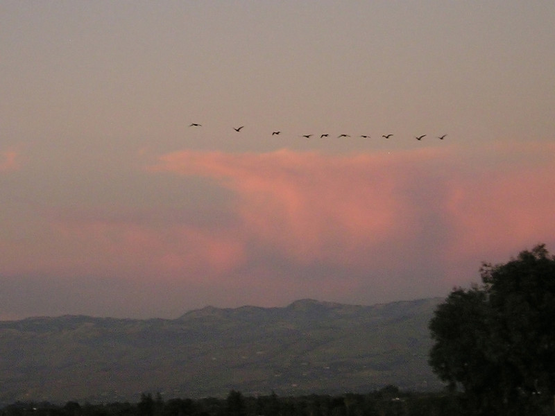 As I tried to line up for a good shot of Mount Hamilton, this line of geese passed by. Dang camera allowed me only one shot. (From top level of Oakridge Shopping Center parking garage.)