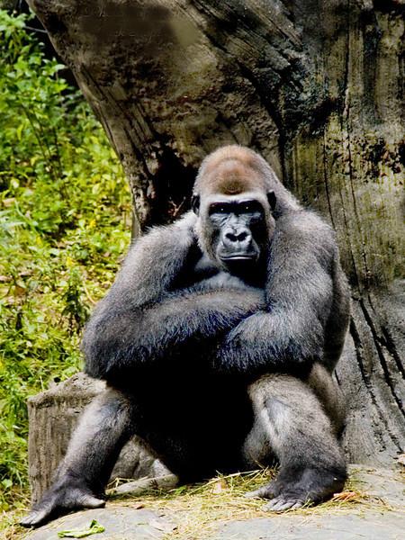 Silverback gorilla.jpg