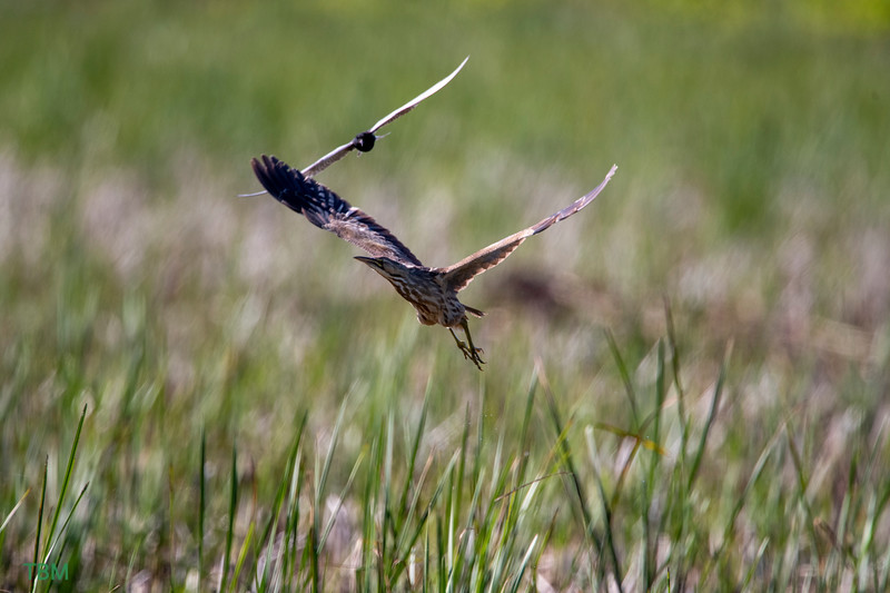 American Bittern being harassed by a Black Tern.