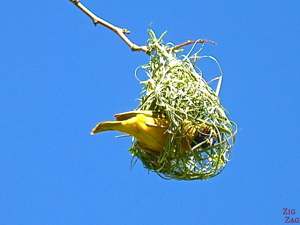 Bird making nest 1