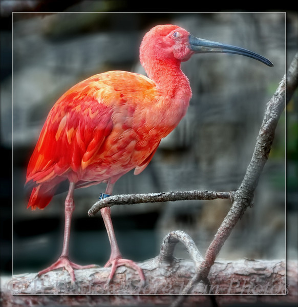Scarlet Ibis
