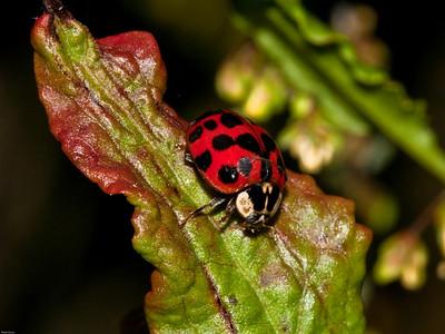 Eyed Ladybird (Anatis occellata)