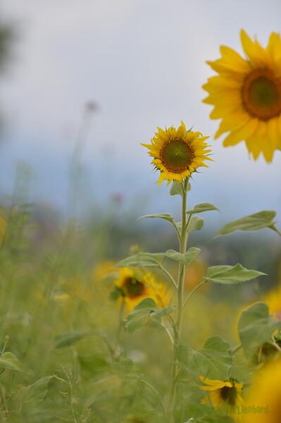 Sunflower Lonay_20092020 (59).JPG