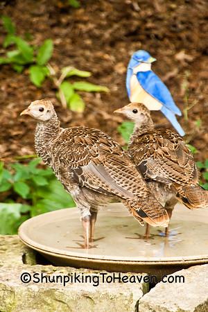 Fowl-like Birds