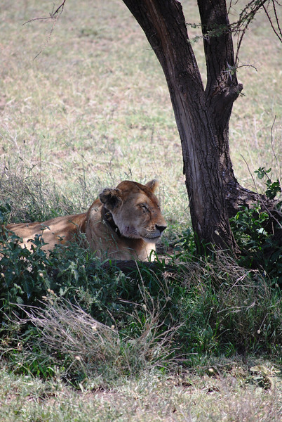 Serengeti (169).JPG