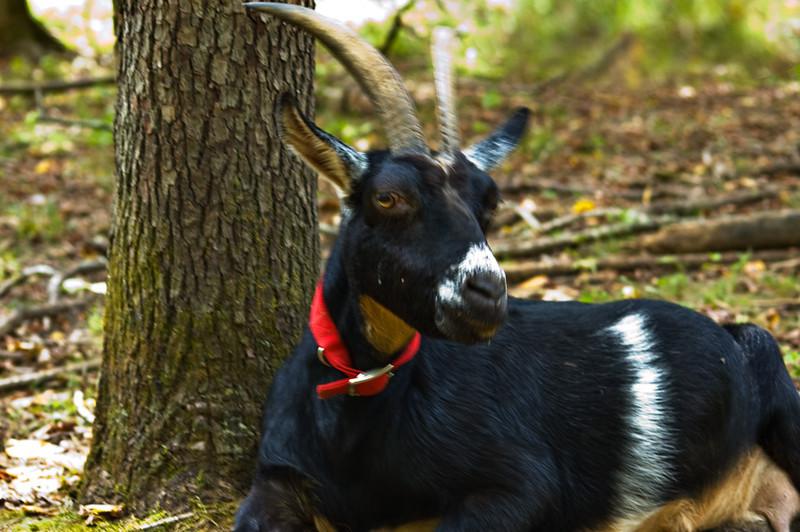 goats225316.jpg
