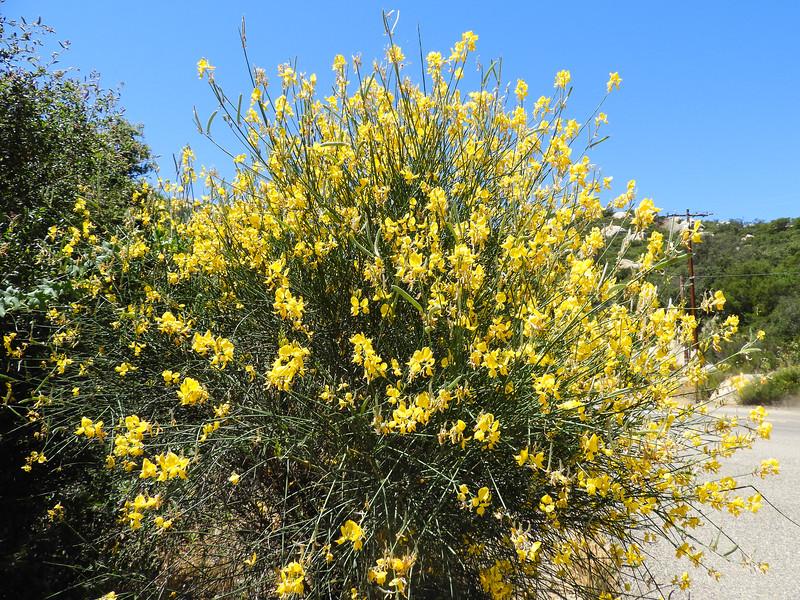 Spanish Broom (Spartium junceum) FABACEAE
