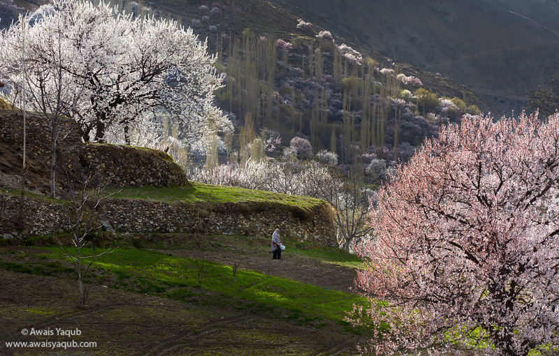 Woman working in potato field surrounded by blooming apricot trees