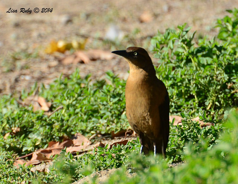 Female Great-tailed Grackle - 12/29/2014 - Lindo Lakes