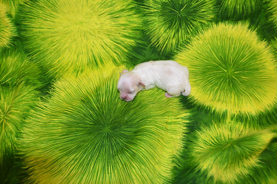 2014 Malshi Puppies Sold