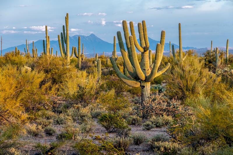 Unusual Saguaro South of Sinagua Road  #2