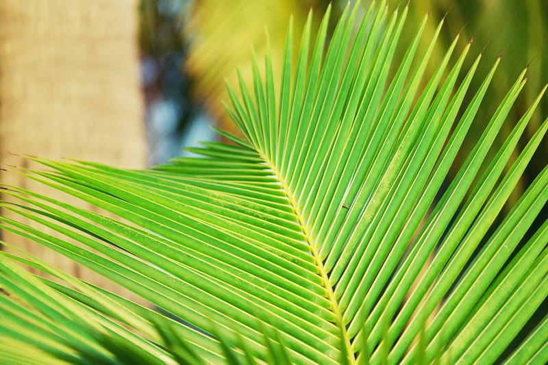 2002 December leaf of coconut palm Samui Thailand.jpg