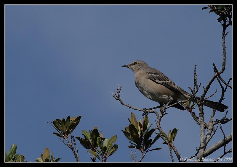 Northern Mockingbird, Santee Lakes, San Diego County, California, October 2009