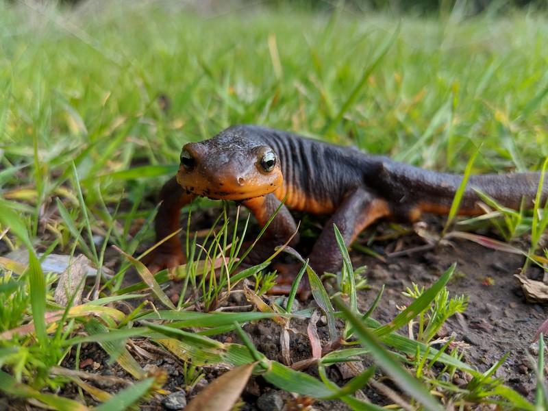 Friend in spring twilight (California Newt)
