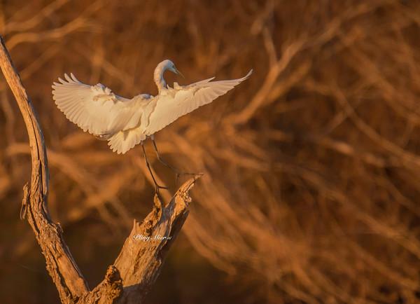 Great Egret sunrise NP_DWL3562.jpg