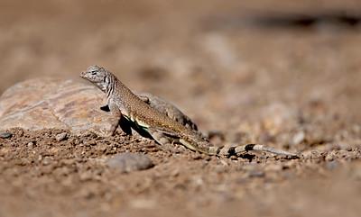 Zebra-tailed Lizard