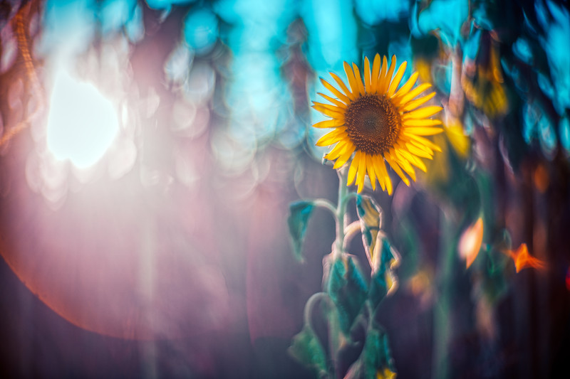 Sunflower, Spain