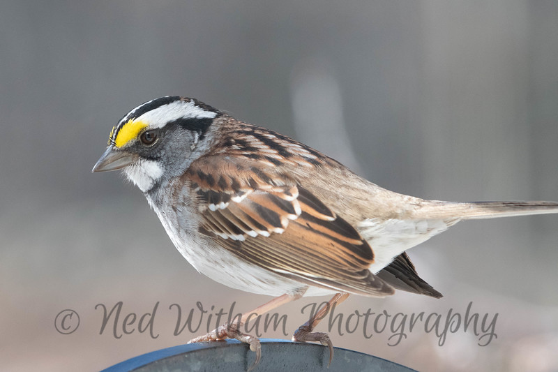 Male White Throated Sparrow.jpg