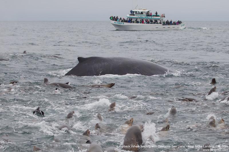 Humpback Whale feeding with California Sea Lions - Near Moss Landing, CA, USA