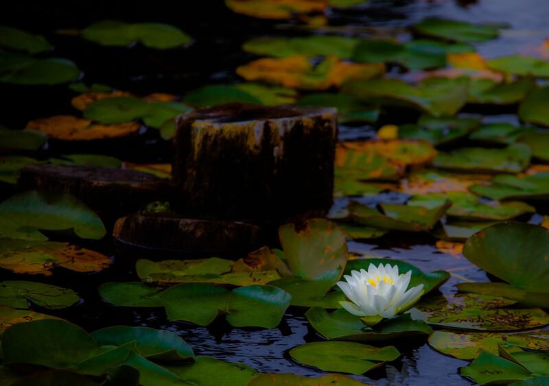 water lilies centennial park conservatory-3215.jpg