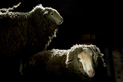 sheep-6891