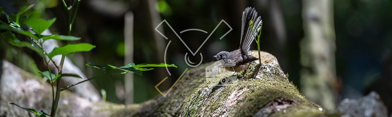 Fantail sitting on a rock in Kerikeri, New Zealand.
