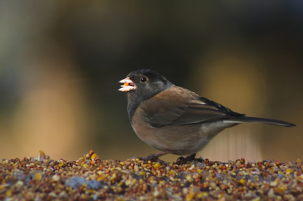 Juncos. Chickadees, Goldfinches, Siskins, Nuthatches, sparrows