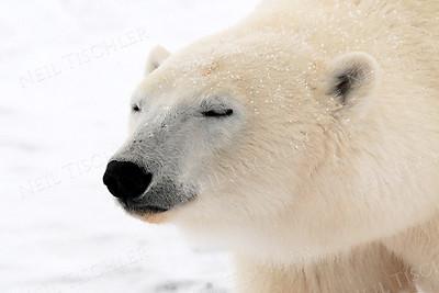 Polar Bears and Arctic Animals