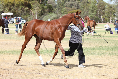 Anglo Warm Filly