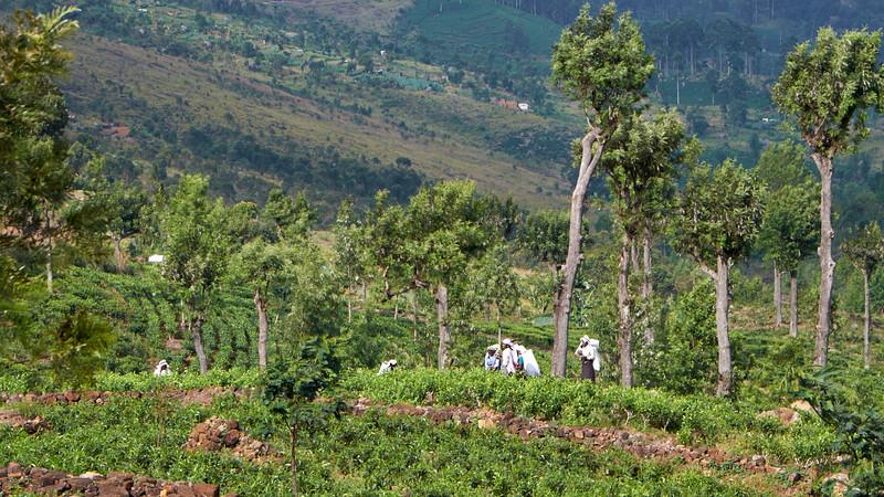 Dambatenne Tea Plantations