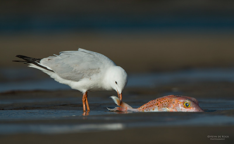 Silver Gull, Lake Woollumbulla, NSW, Aug 2013-1.jpg