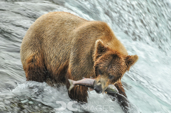 Alaska - Brooks Falls Bears - Kenai Fjords
