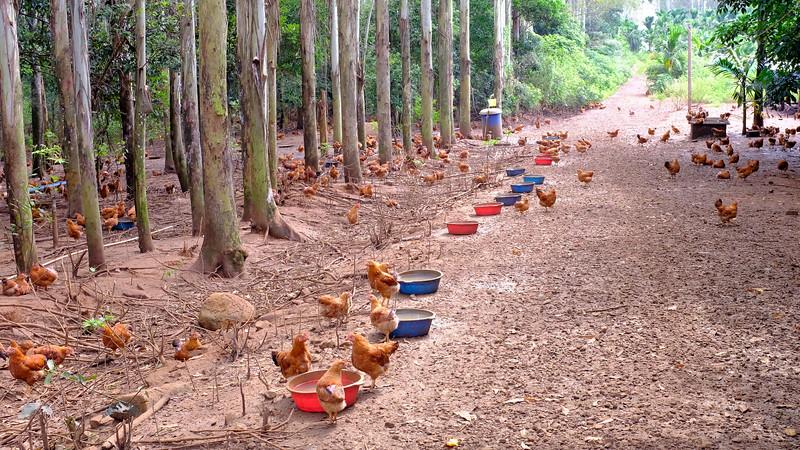 Chickens-DSCF0464.jpg