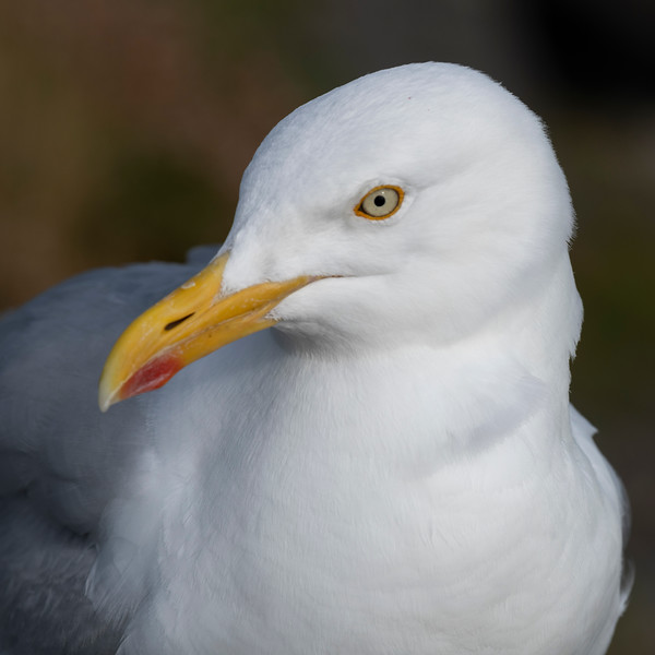 Profile view of Seagull on the coast, Ballyferriter, County Kerry, Ireland