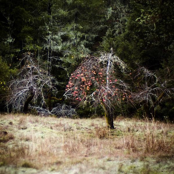 apple-trees-1.jpg