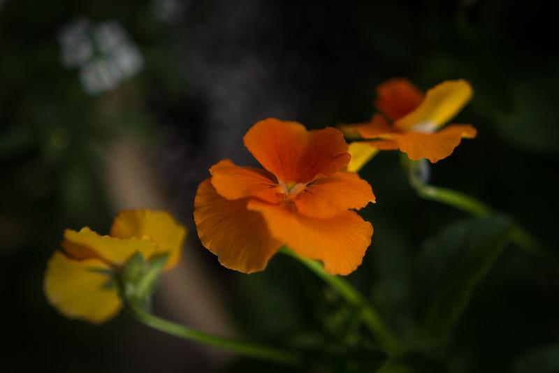 viola 102614-1373.jpg