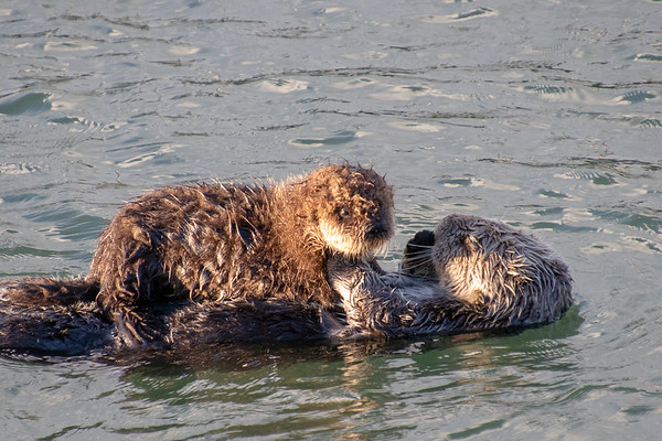 Sea Otters February 2019