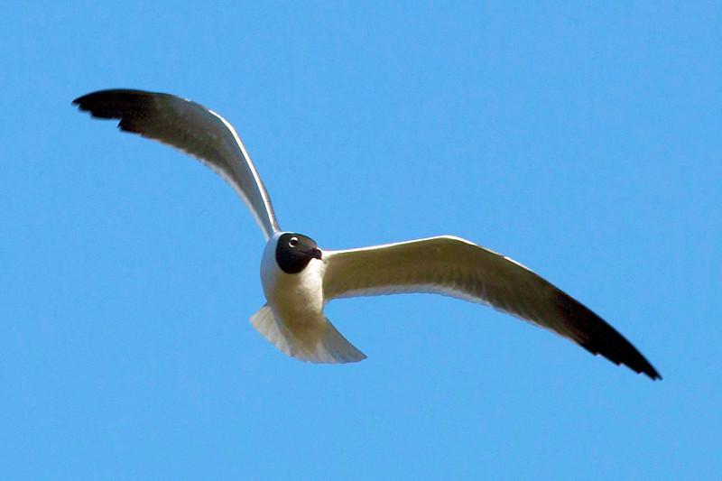 A laughing gull circles the cranes.