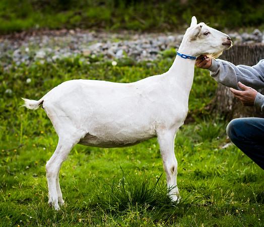 5/8/14 - Goats