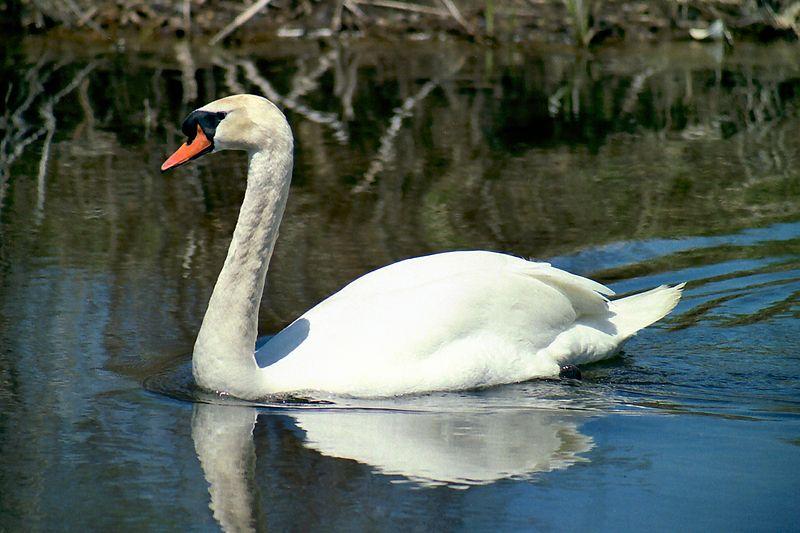 Mute Swan, Humber Bay Park
