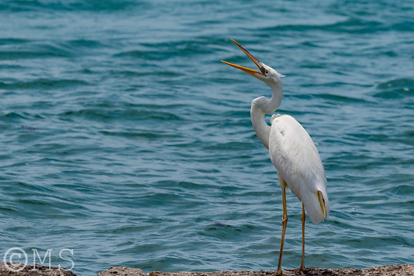 Great White Heron Image Gallery