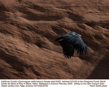 CaliforniaCondorA9276r.jpg