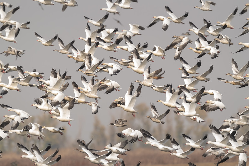 Snow - Ross's Geese