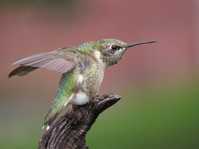 sx50_hummingbird_boas_362.jpg
